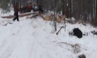 Кто вырубает сосны возле красноярского заповедника «Столбы»