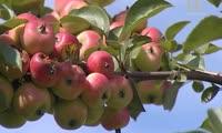 Красноярцев попросили пока не собирать яблоки на острове Татышев