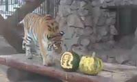 Тигрица-предсказательница