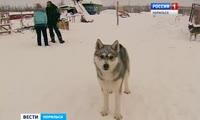 Отстрел собак в Норильске