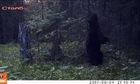 медведь танцует