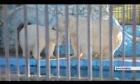 Белые медведи Роева Ручья обзаведутся потомством