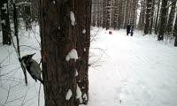 Желтоголовый дятел в красноярском лесу