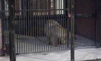 Белый медвежонок прибыл в красноярский зоопарк