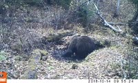Медведица купается перед спячкой