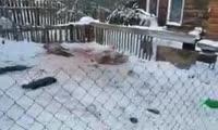 Собаки загрызли кроликов и овец в Красноярске