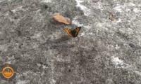 В красноярском Солнечном проснулись бабочки
