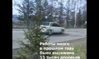 В Красноярске моют ёлки и сосны