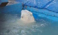 Белая медведица купается