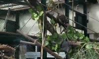 Обезьянки саймири осматривают уличный вольер, который украсили ветками, полочками и верёвками для лазания
