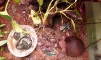Лягушата-дендробатисы.