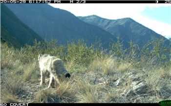 Взаповеднике Красноярского края засняли очень скрытную дикую кошку