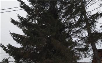 Ели в Овсянке признали опасными для людей: самое большое дерево уже спилили