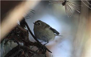 В красноярском нацпарке сфотографировали самую маленькую птицу в стране