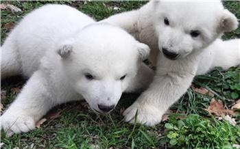 Детёнышам красноярского белого медведя Седова выбрали клички