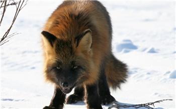 Новые вспышки бешенства зафиксированы в Красноярском крае. Заражены не только лисы