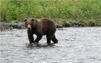 В Красноярском крае разрешили застрелить еще 4 медведей