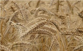 Красноярские ученые придумали метод переработки отходов пшеницы. Их можно использовать в медицине