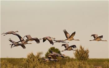 В красноярском болотном заказнике сняли на видео предотлетное скопление и полет краснокнижных журавлей