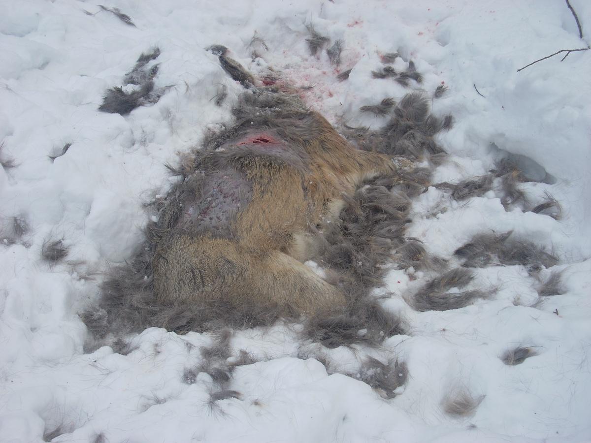 Бродячие собаки вКрасноярске крадут заповедных животных
