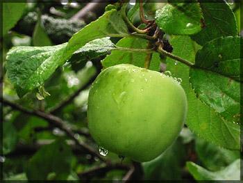 Яблоки «семеринка» или «симиренко»?