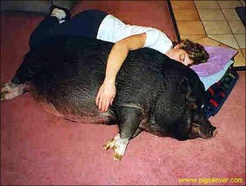 Свинья беременная во сне 92