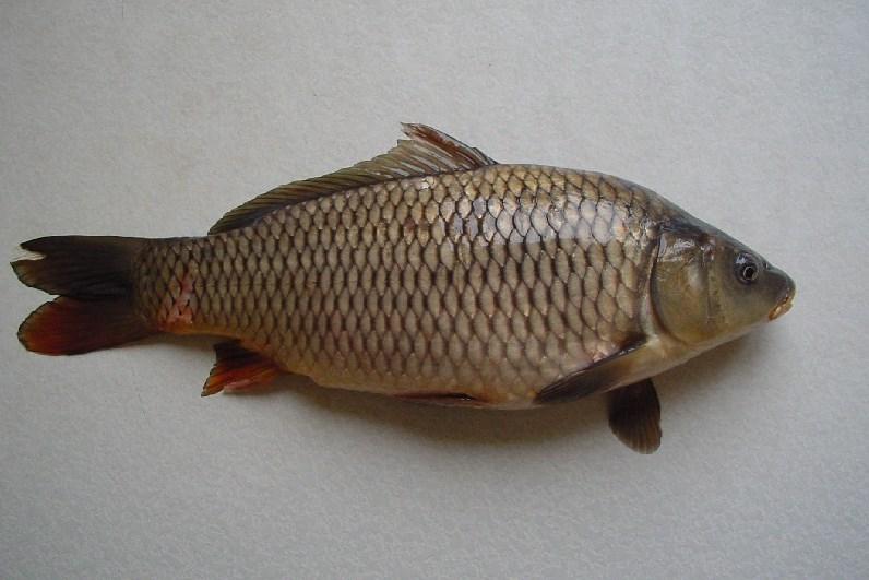 Продам оптом живую речную рыбу со своих прудов.